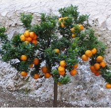 Growing Citrus Trees in Pots Lemon Tree Potted, Citrus Trees, Espalier Fruit Trees, Potted Trees, Growing Grapes, Growing Tree, Garden Trees, Garden Plants, Patio Trees