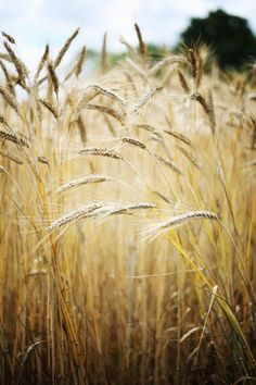but fate subdued me, and the other deathless gods, — delta-breezes: Floorabella's Beautiful Living Buy Grass, Fields Of Gold, Wheat Fields, Photo D Art, Down On The Farm, Country Life, Country Living, Farm Life, Mother Nature