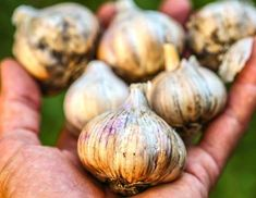 Several days before you take a camping or hiking trip into bug-filled territory, start eating garlic... - iStock/Angus Gunn