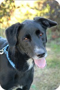 Portsmouth, VA - Labrador Retriever/Border Collie Mix. Meet Lasker a Dog for Adoption.