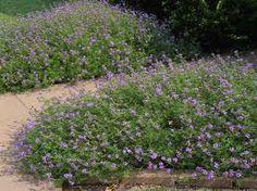 sandpaper verbena... butterfly gardening... drought-tolerant