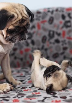 pugs at play