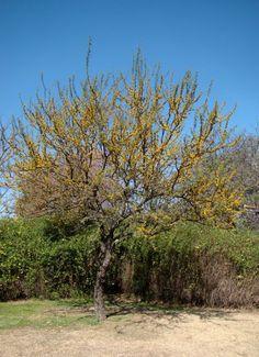 Espinillo (Acacia Caven) aromo, aromito, churqui.