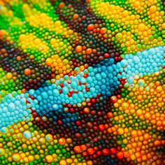 Detail of the particular skin of a chameleon. - Detail of the particular colored skin of a chameleon. Cute Reptiles, Reptiles And Amphibians, Patterns In Nature, Textures Patterns, Chameleon Lizard, Microscopic Photography, Colorful Animals, Exotic Pets, Art Inspo