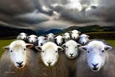 Image result for herdwick sheep images