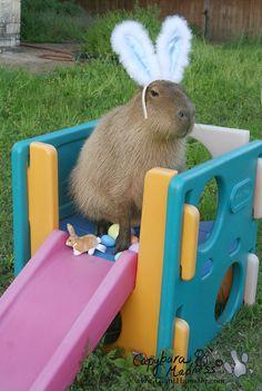 10 photos of Texan capybaras looking noble | Dallas Morning News