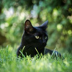 Black cat  Choco