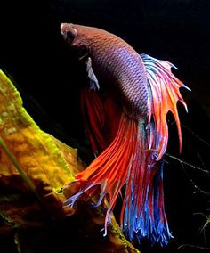 Siamese Fighting Fish.