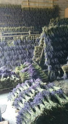 Drying lavender from the fields. Lavender Cottage, Lavender Green, Lavander, Lavender Fields, Lavender Flowers, Dried Flowers, Lilac, Provence, Lavender Crafts