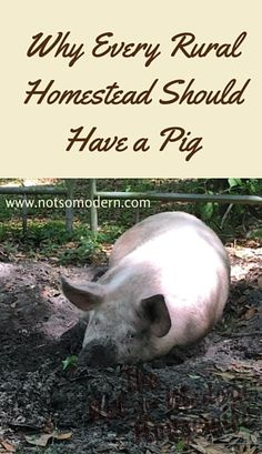 Why Every Rural Homestead Should Have a Pig - The Not So Modern Housewife