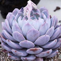 #PurpleSucculents always (Photo: succulent_korea)