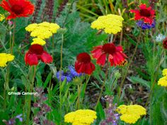 Gaillardia 'Burgundy', Achillea 'Moonshine', and Nigella 'Miss Jekyll'; by Freda Cameron at Defining Your Home