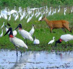 Fauna do pantanal Matogrossense - Brasil