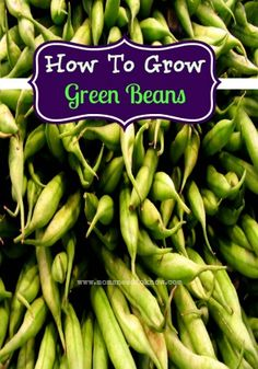 Green beans have been cultivated in gardens for hundreds of years. There are hundreds of different varieties from bush to pole, from Heirloom to hybridized, and even colors ranging from dark green to purple. There are so many green beans to plant, so little time! Here is a little guide to show you how to …