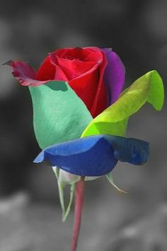 rose of different colors....