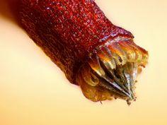 Spore capsule of a moss