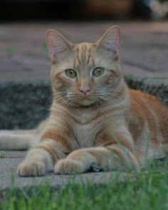 Everyone's favorite orange classic tabby ...
