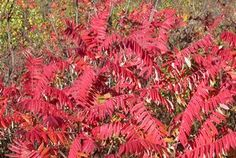 SUMAC...one of the reddest foliages in Alabama.