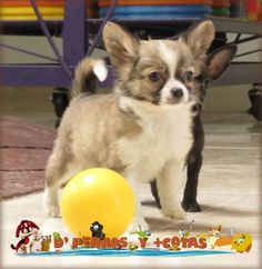 Hermoso Cachorro posando para nuestra cámara. #cachorro #Chihuahua