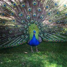 Peacock♡ pic i took :)