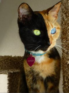 Venus, the amazing chimera cat! Happens when two fertilized eggs fuse together, making it its own fraternal twin.