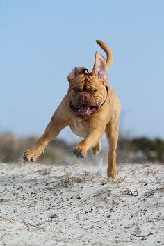 Dogue de Bordeaux the French Mastiff.