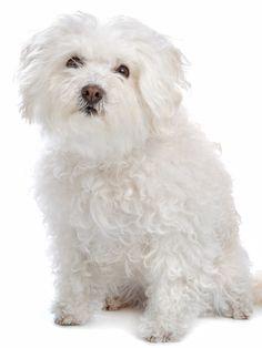 Bolognese Bichon Bolognese, Family Friendly Dogs, Bichon Frise, White Dogs, Dog Portraits, Dog Days, Malteser, Doggies, Animals