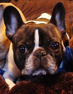 Chuckie, French Bulldog