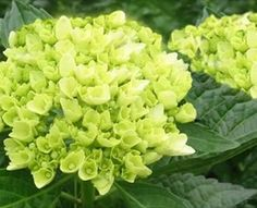Mini Green - Hydrangea - Flowers and Fillers - Flowers by category | Sierra Flower Finder