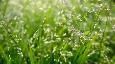 Melica altissima 'Alba' – woodland grass with delicate panicles of flower that sway in the slightest breeze, adding movement to shady planti...