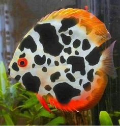 Discus (symphysodon) is a genus of cichlids native to the Amazon River basin. Due to their distinctive shape and bright colors, discus are popular as freshwater aquarium fish. They are sometimes referred to as pompadour fish.