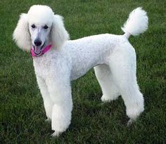 This is a Poodle, a curly haired dog that was bred in France. They also make excellent show dogs.