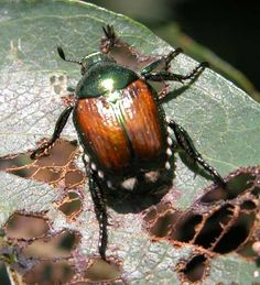 Animals That Start With J - The Japanese Beetle (Popillia japonica) is native to Japan. These green-bodied beetle is about 15 millimeters in size as well as 10 millimeters broad. It is oval-shaped with brownish or copper-colored elytra. #AnimalsThatStartWithI #JapaneseBeetle
