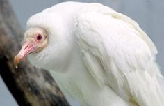 """This albino Black Vulture, a male named """"Oxy,"""" resides at the World Bird Sanctuary in St. Louis, Missouri. There's only one other albino Black Vulture known in existence.  (Source   Photo)"""