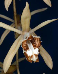 Coelogyne tomentosa