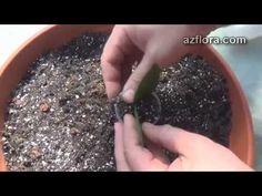 Размножение замиокулькаса / Zamioculcas propagation - YouTube