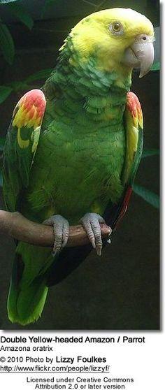 Double Yellow Head or Yellow-headed Amazon (Amazona oratrix aka Amazona ochrocephala oratrix)