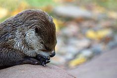 Pensive otter is pensive - November 27, 2016