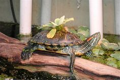 How to Care for a Red Eared Slider Turtle. If you're looking to get a pet turtle, consider a red-eared slider turtle. This easily adaptable pet prefers warm habitats, but can thrive in a large tank. The red-eared slider is named for the. Turtle Care, Pet Turtle, Baby Turtles, Water Turtles, Red Ear Turtle, Tortoise Turtle, Tortoise Care, Reptiles, Red Eared Slider Turtle