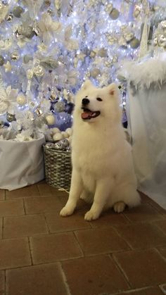 Beautiful  #samoyed