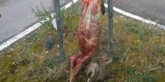 petition: EU: Demand Italy protect the Italian wolf from poachers. Investigate Mr Rabazzi for his declarations! Hog Farm, Queen Guitarist, Trophy Hunting, Dog Fighting, Nc Legislature, Wildlife, Death, Public Square, Psychotic