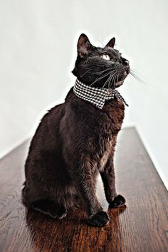 - Details - Sizing Guide Rover's tailored collar in black and white cotton. Velcro front closure. For our pointed collars, measure your cat's neck circumference in inches, making sure not to pull the