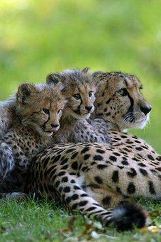 Cheetahs by Michael Maderecker