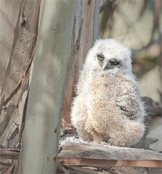 Great Horned Owl chick in its nest in a Eucalyptus tree on Berkeleys Claremont Canyon