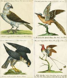 From a selection of images from A Natural History of Birds. Published in Florence in five volumes in 1765, it contains 600 beautiful hand-colored engraved plates of birds.