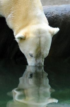 "A polar bear named Yogi drinks from the pool in her new ""ice"" enclosure at the zoo in Munich. Polar Bear Names, Polar Bears, Moose Deer, My Teddy Bear, Brown Bear, Black Bear, Wildlife Photography, Beautiful Creatures, Cute Animals"