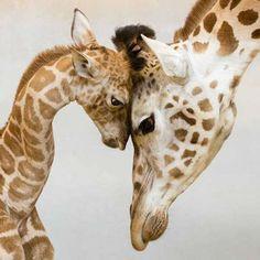 Las jirafas ponen a prueba a sus bebés tan pronto como nacen. Las jirafas dan a luz a sus crías de pie. ¡Esto significa que los recién nacidos deben sobrevivir a una caída de dos metros hasta el suelo durante el proceso! Una vez allí, si han evitado una fractura de cuello, deben conseguir erguirse sobre sus patas en el plazo de una hora, porque si no, puede que la madre los abandone o incluso los mate. #jirafa #animales #naturaleza…