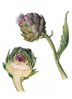 Artichoke section high resolution | by Normandy Fleur