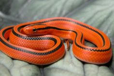 Pretty Snakes, Beautiful Snakes, Animals Of The World, Animals And Pets, Cute Animals, Rat Snake, Corn Snake, Spiders And Snakes, Deadly Animals