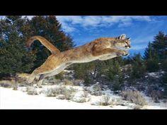 Cougar(Mountain lion) sounds - YouTube